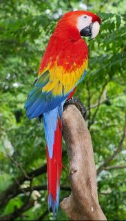 Scarlet Macaw Parrots for Sale here