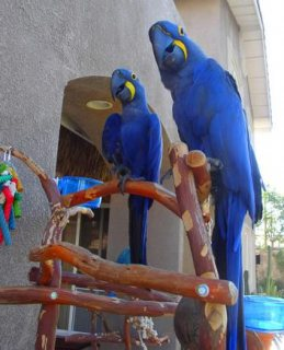 صور Talking Pair Of Hyacinth Macaw Parrots 1