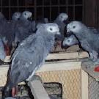 lovely and adorable african grey parrots for adoption