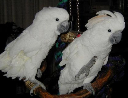 WHITE ANGEL COCKATOO PARROTS