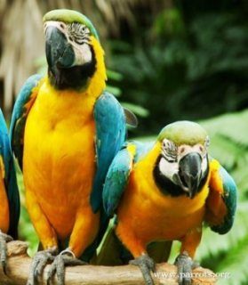 MALE AND FEMALE BLUE AND GOLD MACAW PARROTS FOR SALE HERE