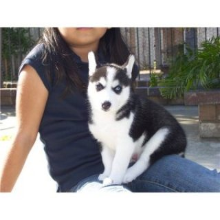 Two beautiful purebred Siberian Husky puppies.