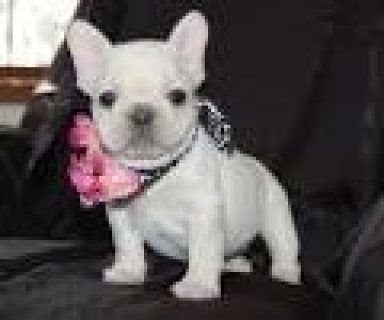 French Bulldog Puppies Available here