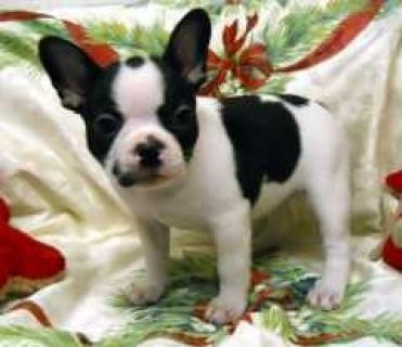 Affectionate French Bulldog Puppies for sale here