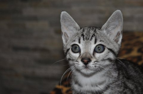 wonderful f4 savannah kittens for Adoption