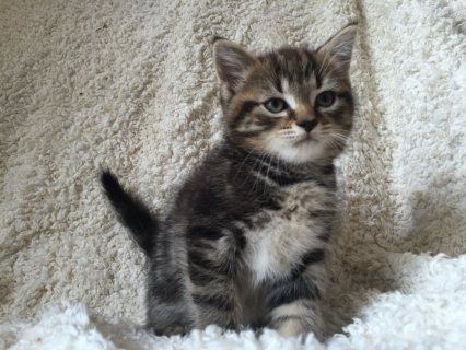 Pedigree Scottish Fold Kittens for Adoption