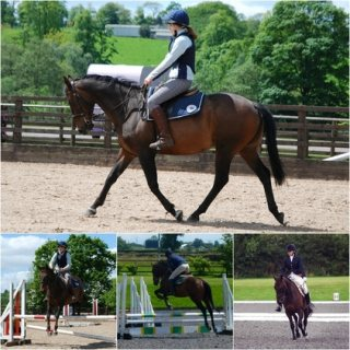 Allrounder Gelding Horse for sale