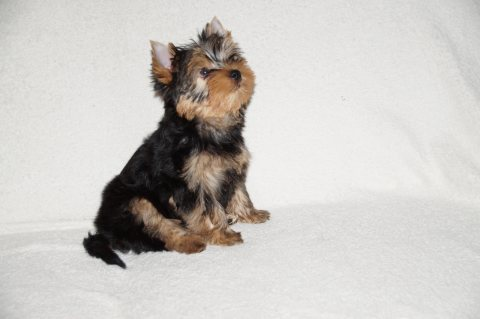 Absolutely Healthy Yorkie Puppy for Adoption
