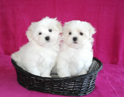 Very Sweet Charming Maltese Puppies for Adoption
