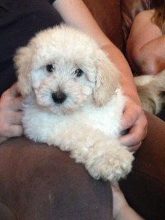 WONDERFUL TOY  POODLE PUPPIES FOR ADOPTION
