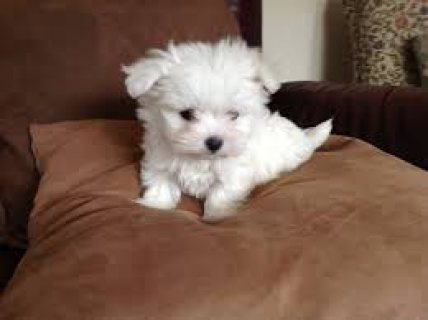 Registered Maltese Puppies For Re-Homing