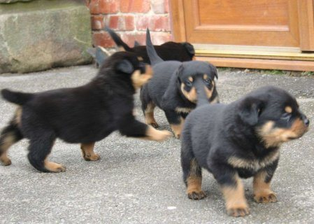 Rotweiller puppies of prefect quality