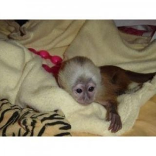 Lovely 10 weeks old capuchin Monkeys for sale