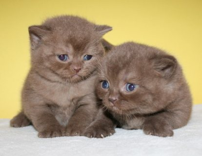 صور Cute British short hair kittens 1