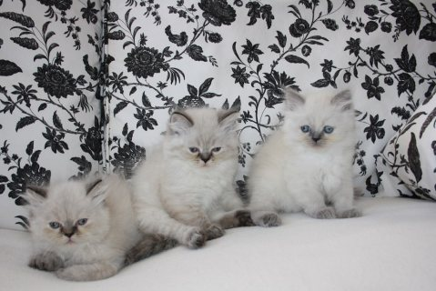 Persian Kittens Available For Any Good Homes