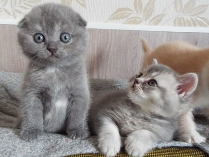 House Trained Scottish Fold Kittens