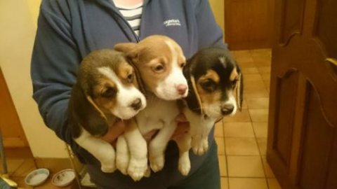BEAGLE PUPPIES WITH MKA CERT ARE HERE