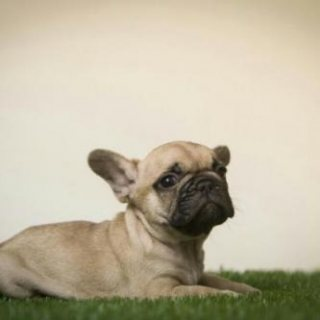 These Beautiful French Bulldogs are looking for their forever