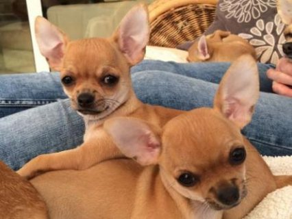 Kc Stunning Smooth Coat Litter chihuahua puppies  Puppies Will L