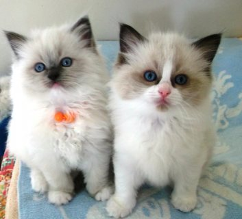 Beautiful Ragdoll Kittens Available For Sale