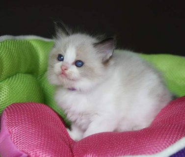 Cute Ragdoll Kittens for Sale