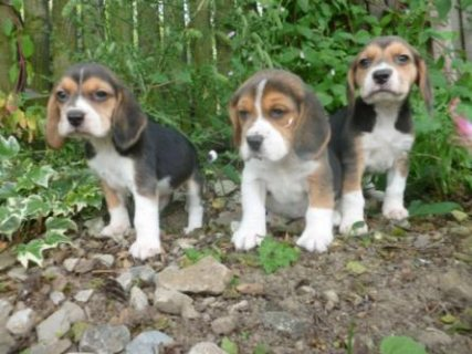 Tri Coloured Beagles Puppies Ready NowLitter of tri-colored beag
