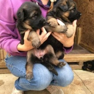 صور  2 boys and 2 girls left. All pups come with 1st vaccination and 1