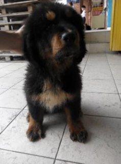 Direct imported purebreed Tibetan mastiff female