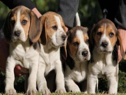 **kc Reg Beagle Boy Puppies Ready Now**