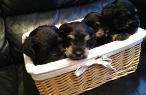 We have a gorgeous litter of Black & Silver puppies. We have o