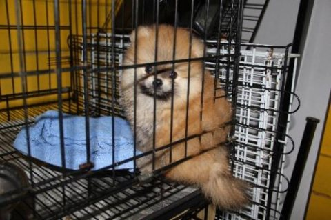 Adorable orange pomeranian for sell  male available 48 days olds