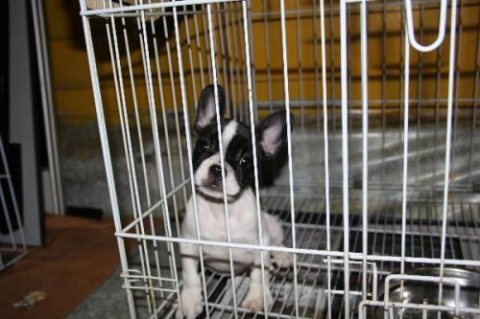 french bull dog puppy for sell  black n white male available 1st