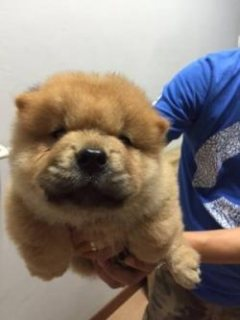 Orange Chow Chow Imported Champion Lineage