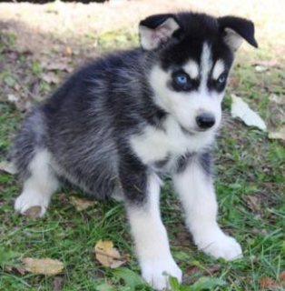 We got two Siberian husky puppies. 12 weeks old. They male is