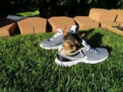 I have three tiny teacup Yorkie puppies available. One male, t