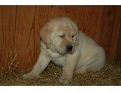 We have a litter of English Labrador Retriever puppies. There