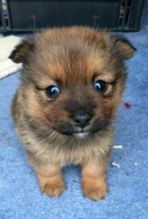 Cute,socialised and playful Pomeranian looking for a new home.