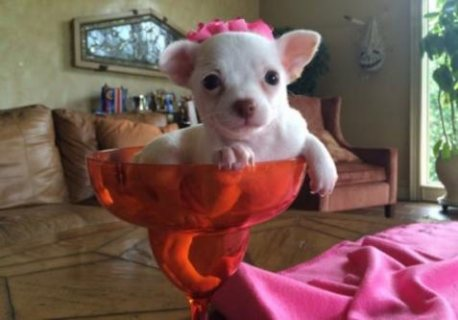 male and female tiny teacup chihuahua puppies for sale to any