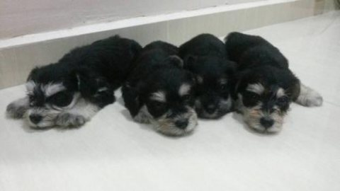 I have 4 schnauzer puppy for sale  ~ 4 females  ~D.O.B :18 sept