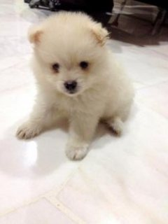 Boys pomeranian puppies 2month old and now ready to leave their