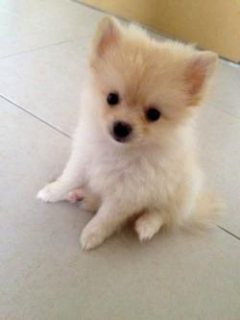 Girls pomeranian puppies 2month old and now ready to leave their
