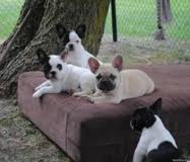 french bulldog puppies for sale to any good home