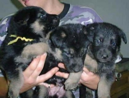 this german shepherd puppies are really amazing . love toplay wi