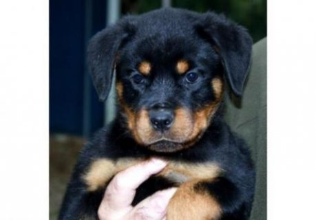 We have females available from our Chance and Asia litter. This