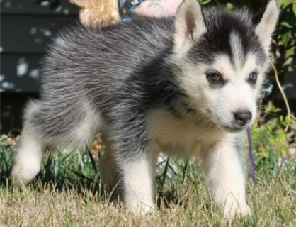 Blue-Eyed,Black and white Siberians Huskys puppies!!  Gorgeous 1