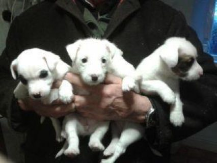 These georgeous Jack Russell puppies are eight weeks old and are
