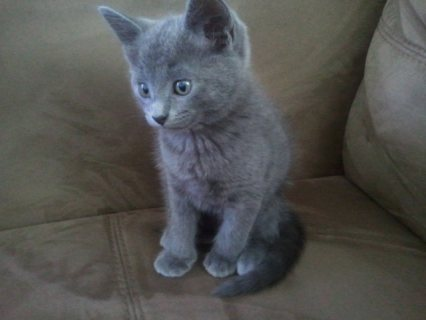 صور Hand Raised Russian Blue Kitten for Caring Home22 1