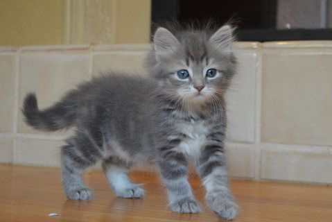 Cute Siberian Kittens ready to go For Good Homes12