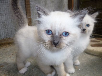 Cute Birman Kittens For Rehoming33