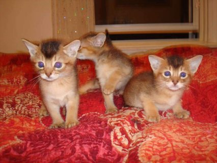 Abyssinian Kittens  Male And Female For Lovely Homes444